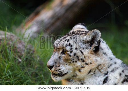 Snow Leopard Looking Left