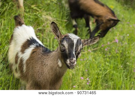 Young Goat In The Field