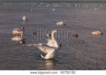 beautiful swan on the sea. wildlife