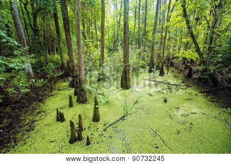 Lush green swamp and tropical forest scene. The sun is peaking through the thick foliage to reveal a gorgeous natural landscape