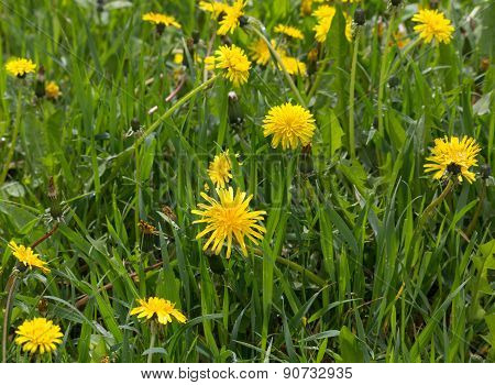 Meadow With Yellow Dandelions. Flowers And Meadows