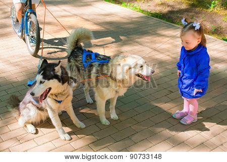 little girl in blue jacket standing and looking at Dogs in harness, rolling scooter in park