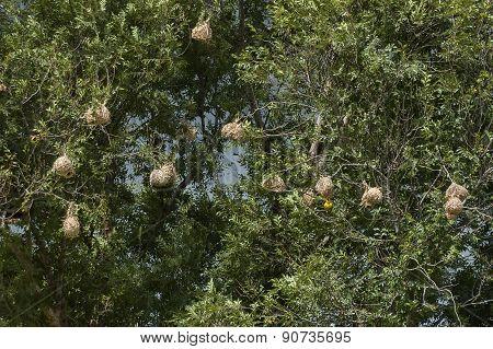 Yellow Weaver (ploceus subaureus) master builder weave nest