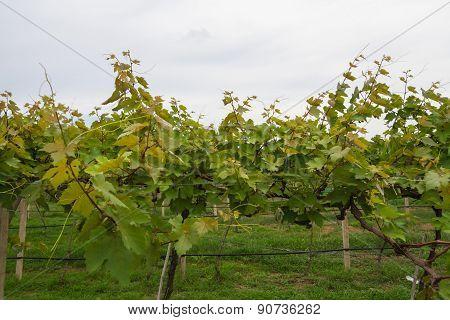 Growing Grape Vines