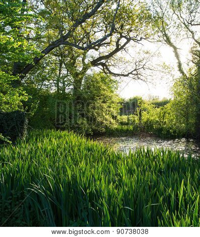 Wild Pond With Water Irises Under Trees In Afternoon Sun