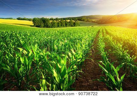 Sunlit Rows Of Corn Plants