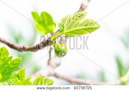 Branch Of A Fig Tree