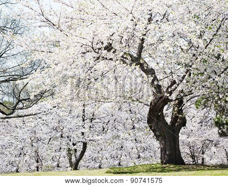Spring Cherry Blossoms. The Sakura Trees Blossoms