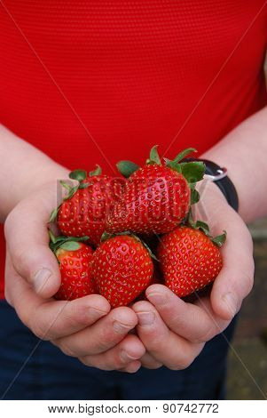 Juicy Ripe Strawberries in Child's Hands
