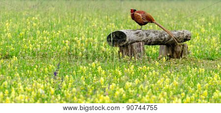 Pheasant (walking Bird)