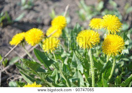 Bunch Of Dandelion Flower