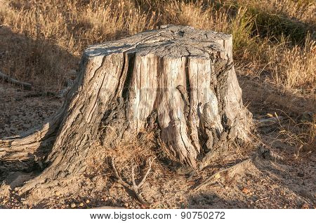 Remains Of An Old Tree Stump