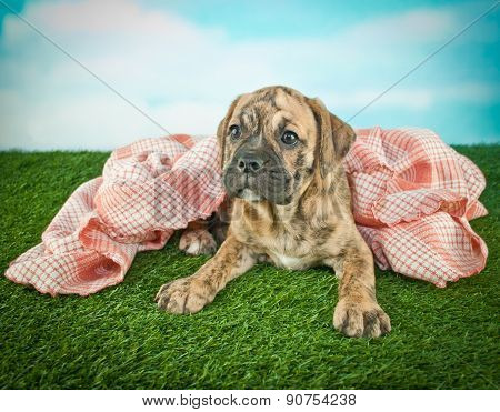 Warm And Cozy Bulldog Puppy