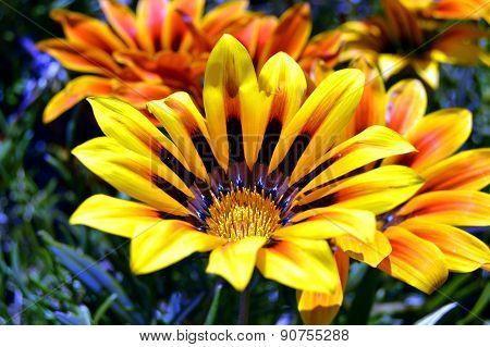 Vibrant yellow gazania flowers