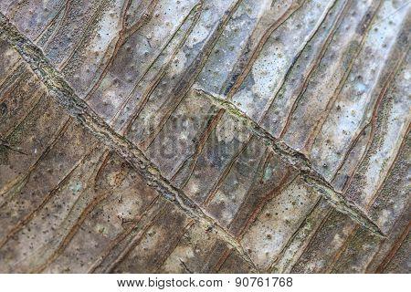 Background And Texture Bark Of Dracaena Tree