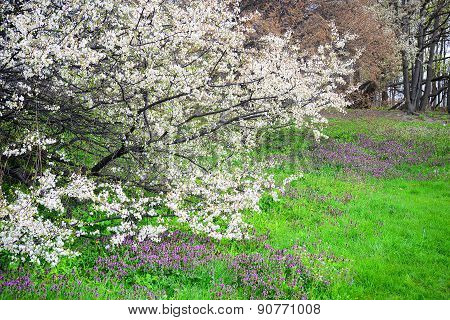 Spring With Flowers And Caucasian Plum Blossom