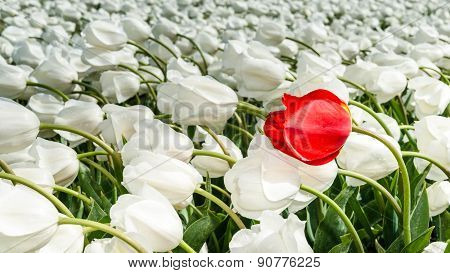 Beautiful Bouquet Of Tulips. Colorful Tulips. Tulips In Spring Sun. Tulip In The Field