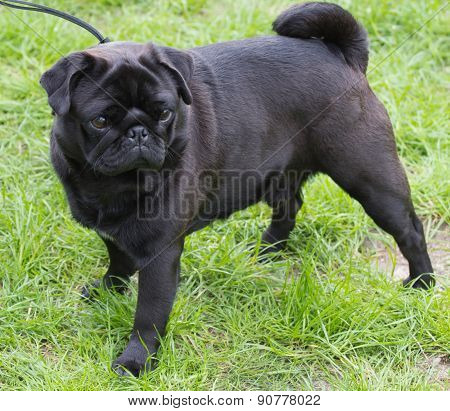 Black pug with green