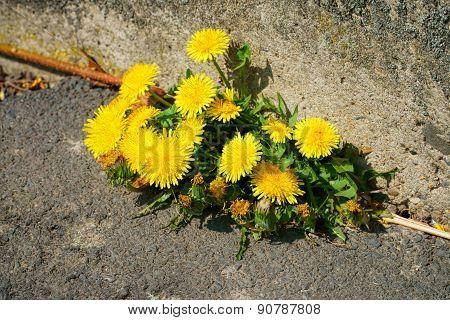 Dandelion On The Roadside