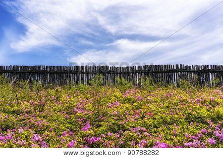 Royal Azalea On Top Of Daegwallyeong