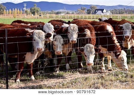Cattle over the fence