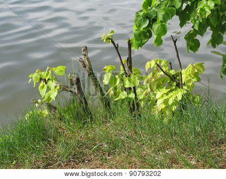 green lime trees on the bank