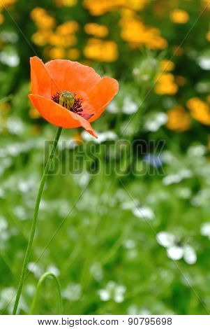 Colored Poppy Field Vertical Image