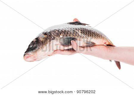 Fresh carp in man hand.