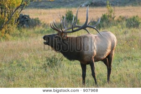 Bugling Elk At Sunset