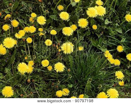 Small Spring Flowers Dandelions On A Meadow.