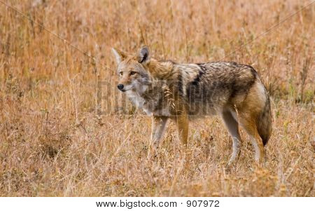 Wary Coyote