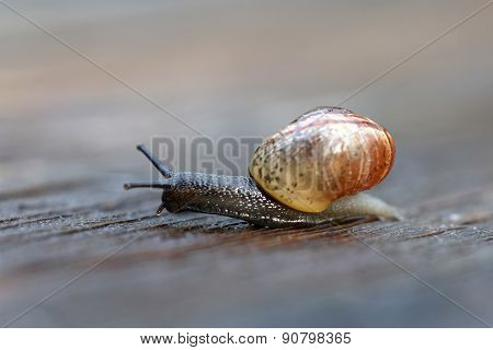 Small Snail Gliding On Wood