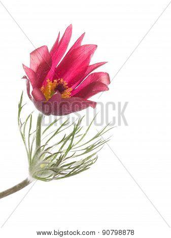 Beautiful Flower Pulsatilla Patens