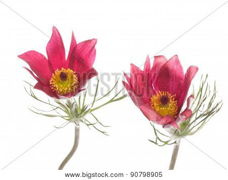 Two Flowers Pulsatilla Patens