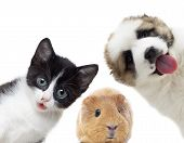 stock photo of guinea  - Puppy and kitten and guinea pig on a white background - JPG