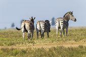 pic of wilder  - Zebra - JPG