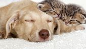 picture of puppy kitten  - a puppy and a kittens sleeping together - JPG