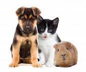 stock photo of puppy kitten  - a kitten and a puppy and a guinea pig - JPG