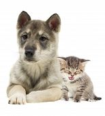 stock photo of puppy kitten  - kitten and puppy together on a white background - JPG