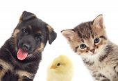 pic of puppy kitten  - Puppy and kitten and bird on a white background - JPG