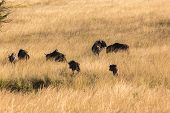 image of grassland  - Blue Wildebeest wildlife animal herd in grassland wilderness reserve park - JPG
