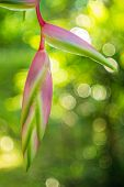stock photo of heliconia  - Heliconia rostrata  - JPG