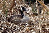 pic of honkers  - alert nesting canada goose - JPG