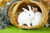 stock photo of tawdry  - Two white rabbits in basket against gaud - JPG