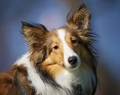 picture of sheltie  - One Shetland Sheepdog Shelti looks at camera with head tilted alert - JPG