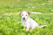 picture of little puppy  - Mixed-breed cute little puppy outdoors on a meadow on a sunny spring day. ** Note: Soft Focus at 100%, best at smaller sizes - JPG