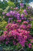 stock photo of azalea  - Rhododendrons and Azaleas burst with color at the Highline Botanical Gardens in Seatac Washington - JPG