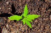 image of marijuana plant  - Cannabis Marijuana Green Young Plant over the Floor - JPG