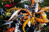 foto of koi fish  - Koi carp symbols of good luck and prosperity in Japan