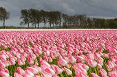 pic of sm  - Tulips in an agricultural farm land in the Dutch polder. the strong winds of a spring storm doing them all a stir direction. The storm clouds still hang over the landscape while the sun shines through the clouds ** Note: Visible grain at 100%, best at sm - JPG
